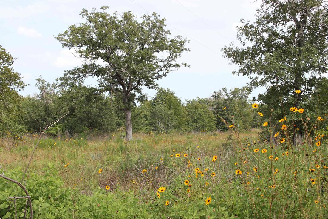 oaks-and-sunflowers